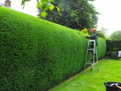 conifer hedges